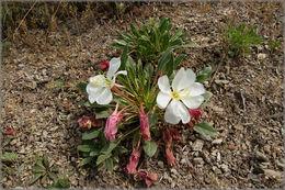 Image of tufted evening primrose
