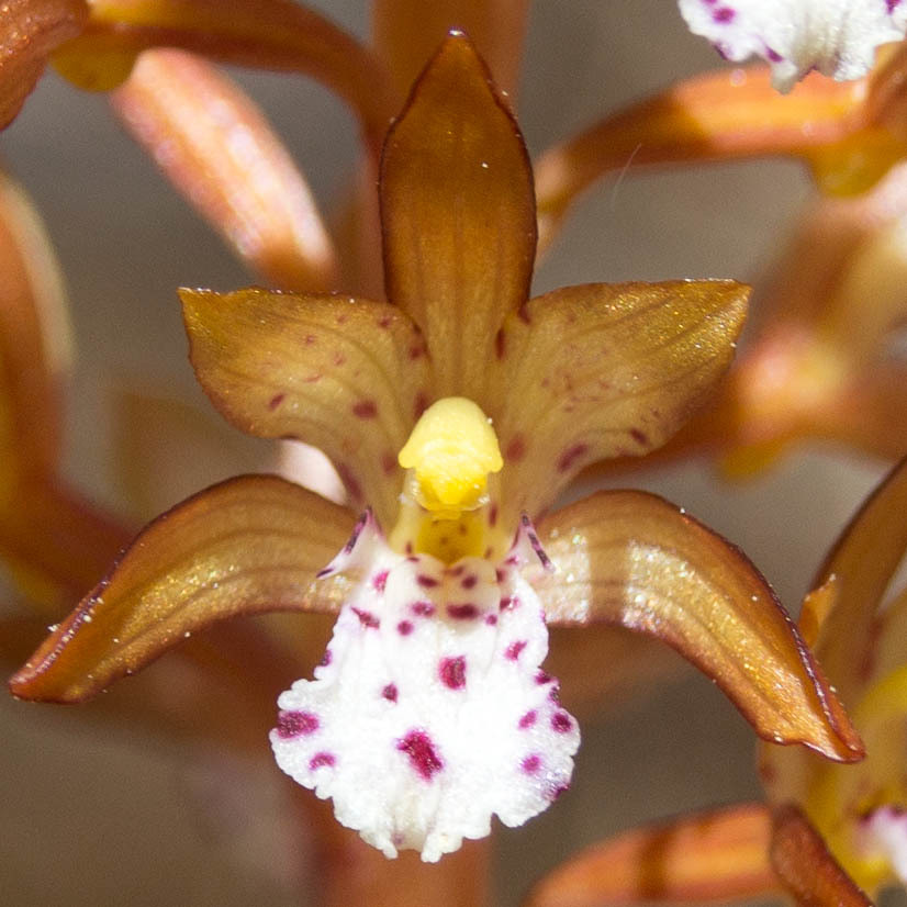 Image of Spotted coralroot