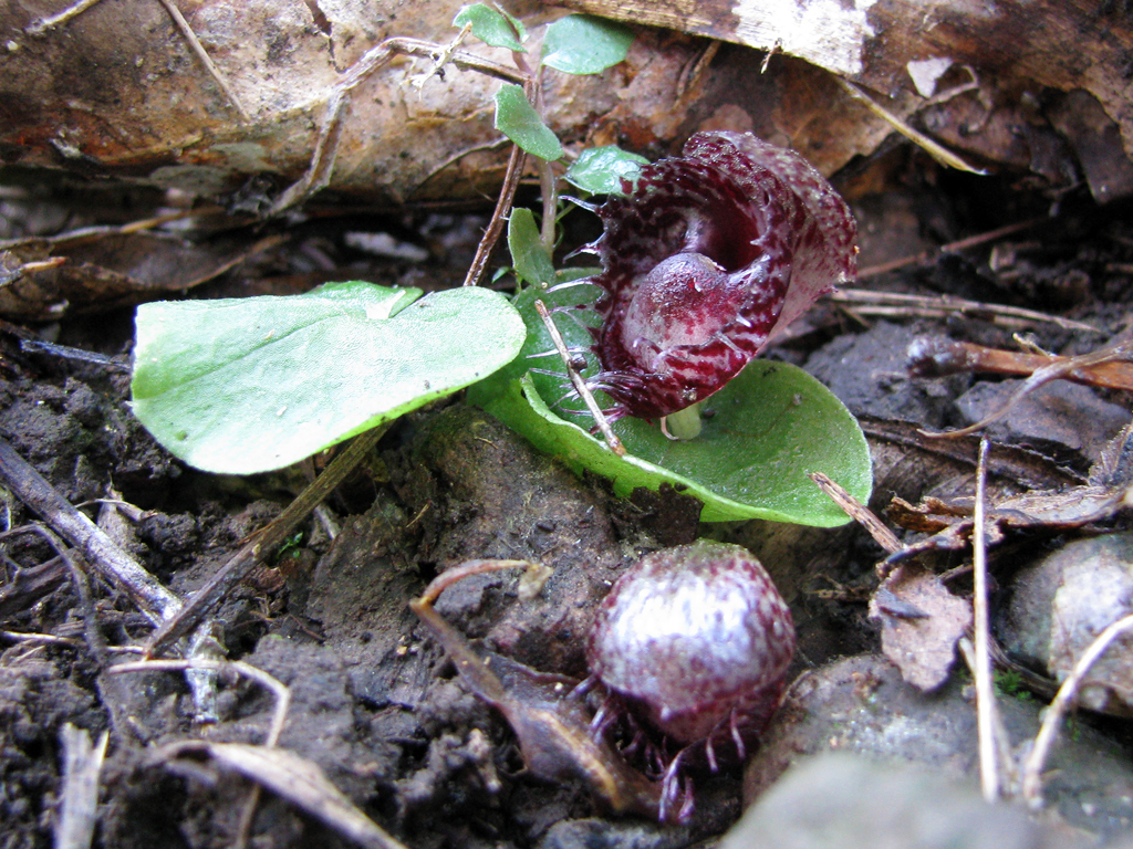 Image of Fringed helmet orchid