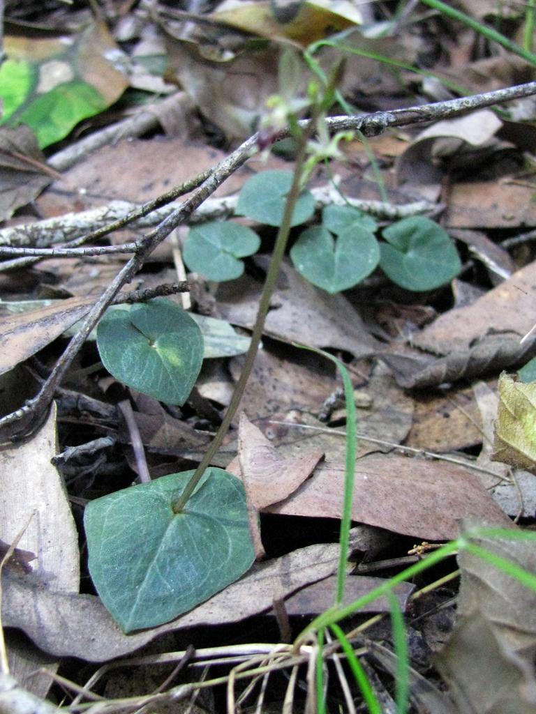 Image of <i>Acianthus exsertus</i> R. Br.