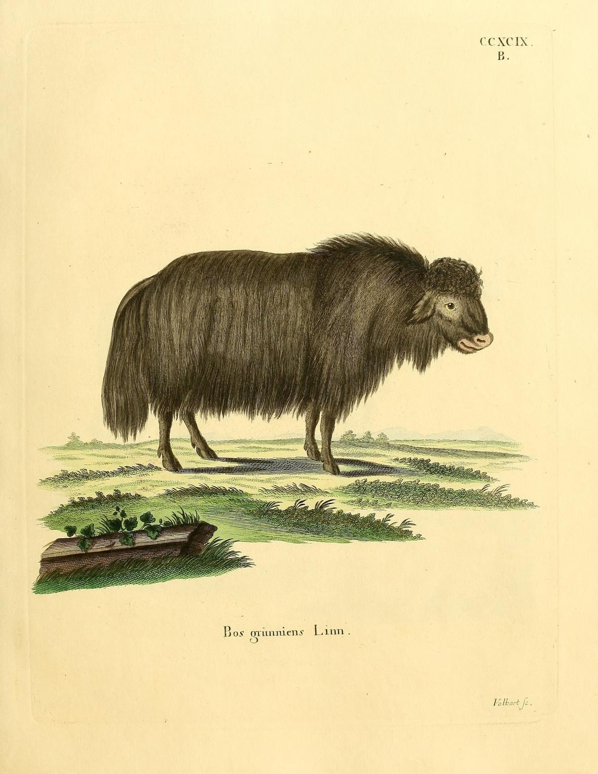 Image of <i>Bos grinniens</i>
