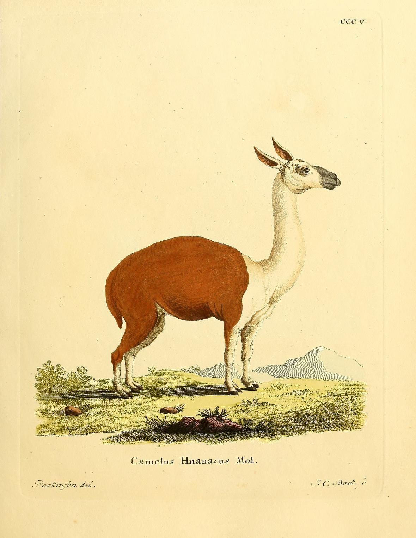 Image of <i>Camelus huanacus</i>