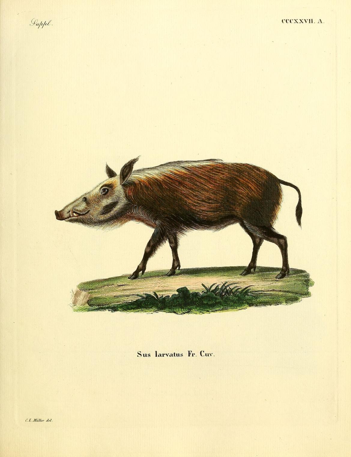 Image of <i>Sus larvatus</i>
