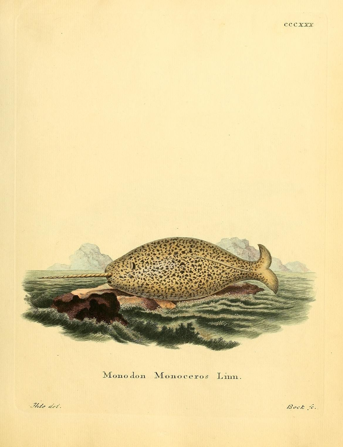 Image of Narwhal