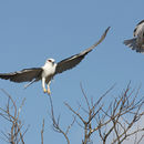 Image of Black-shouldered Kite