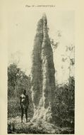 Image of <i>Eutermes pyriformis</i>