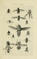 Image of <i>Chetogaster violacea</i> Macquart 1851