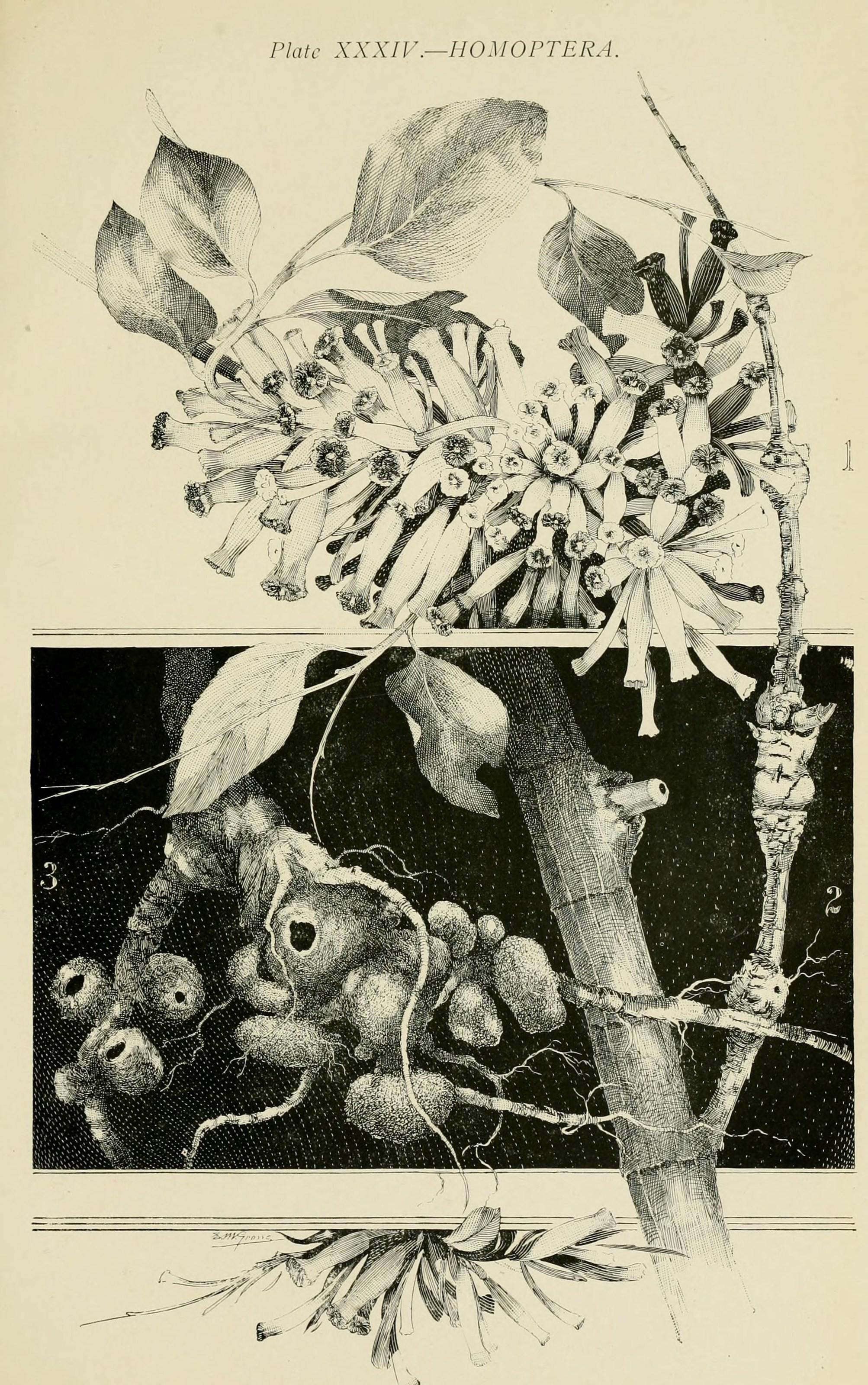 Image of <i>Apiomorpha urnalis</i> (Tepper 1893)