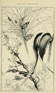 Image of <i>Apiomorpha duplex</i> (Schrader 1863)