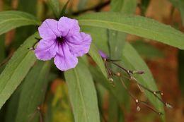 Image of <i>Ruellia coerulea</i>