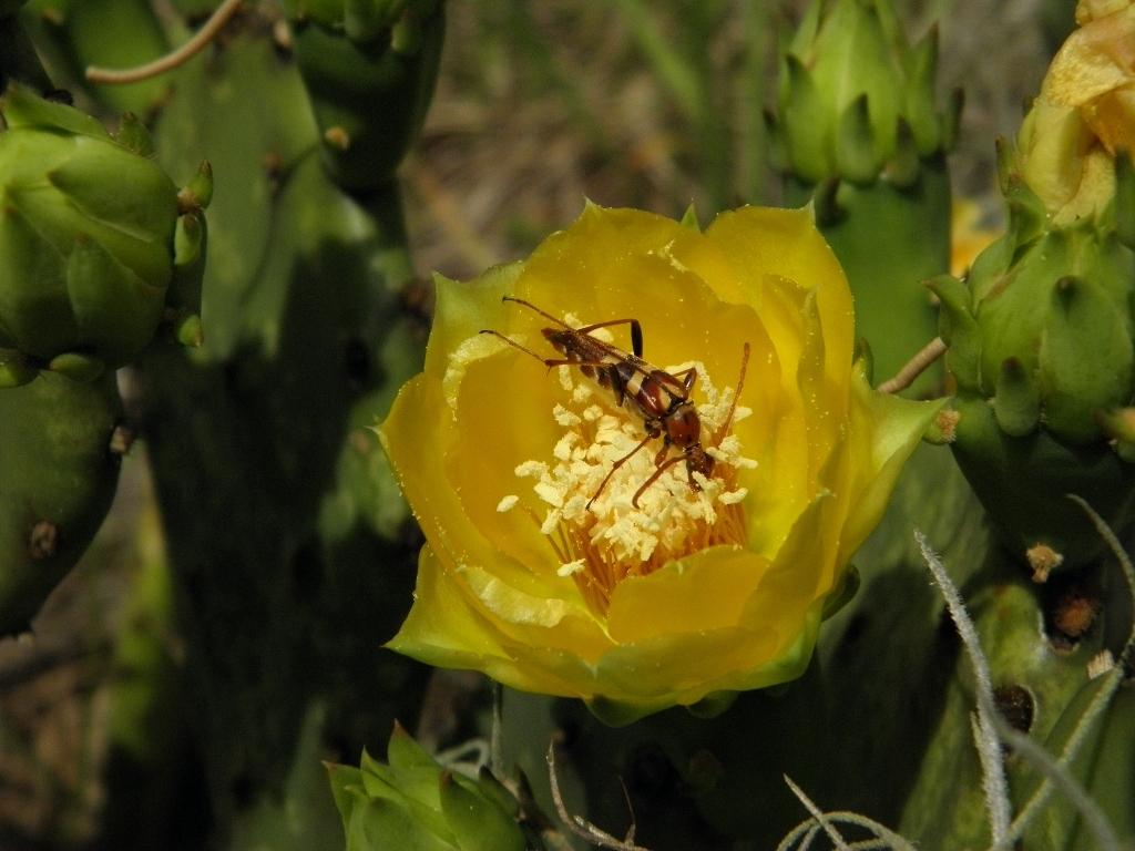 Image of <i>Strangalia strigosa</i> Newman 1841