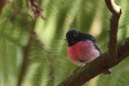 Image of Pink Robin