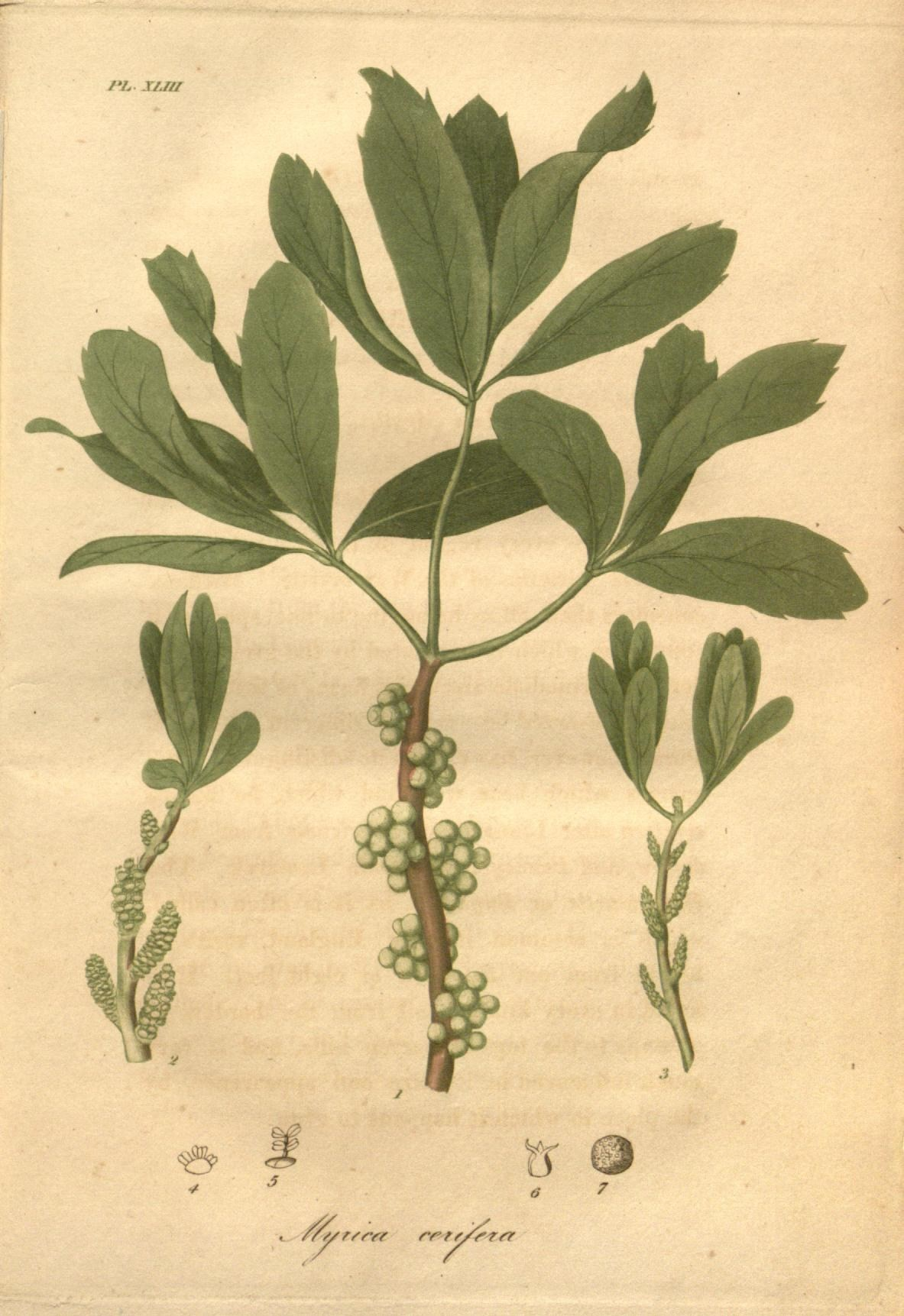 Image of southern bayberry