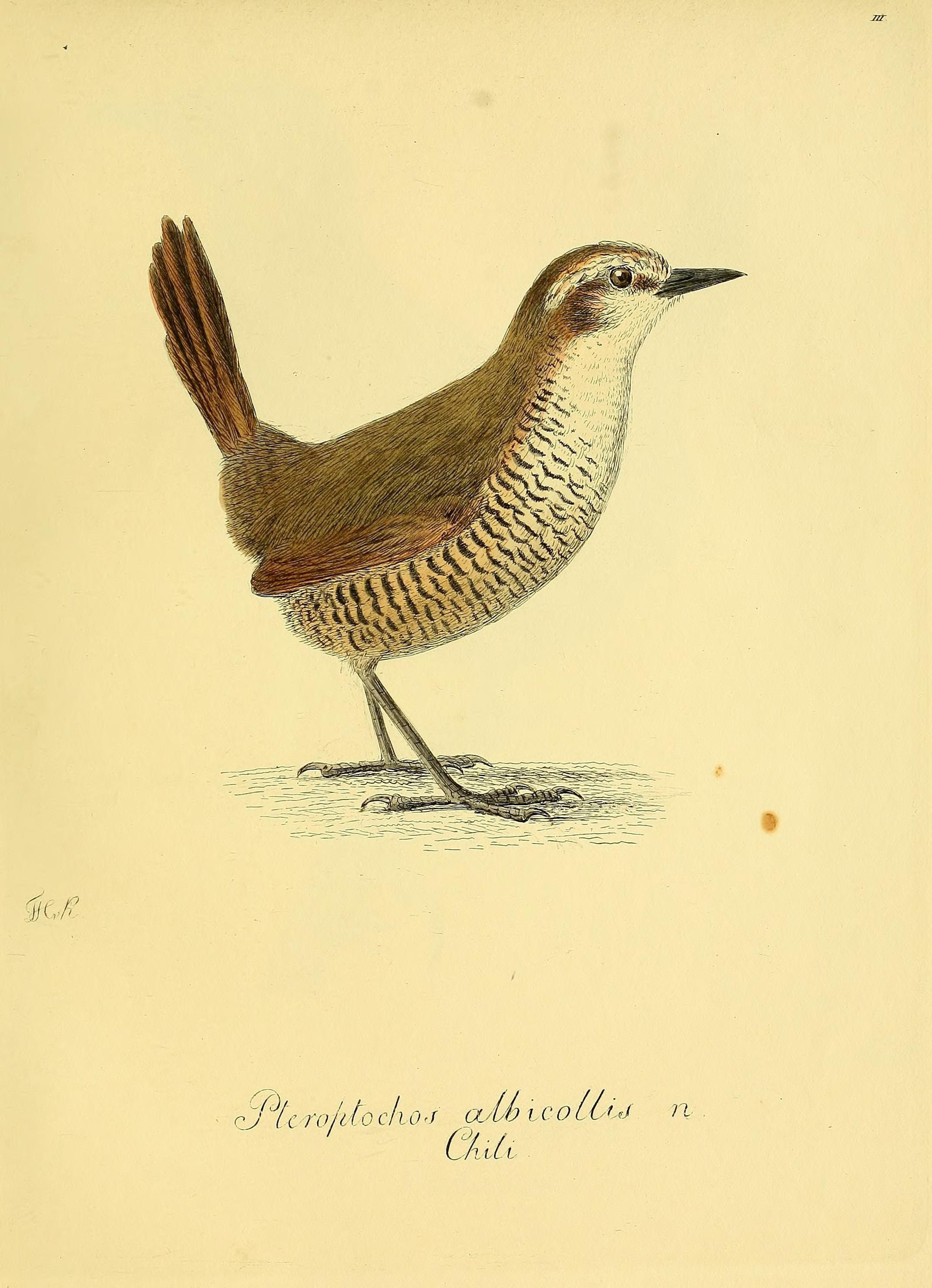 Image of White-throated Tapaculo