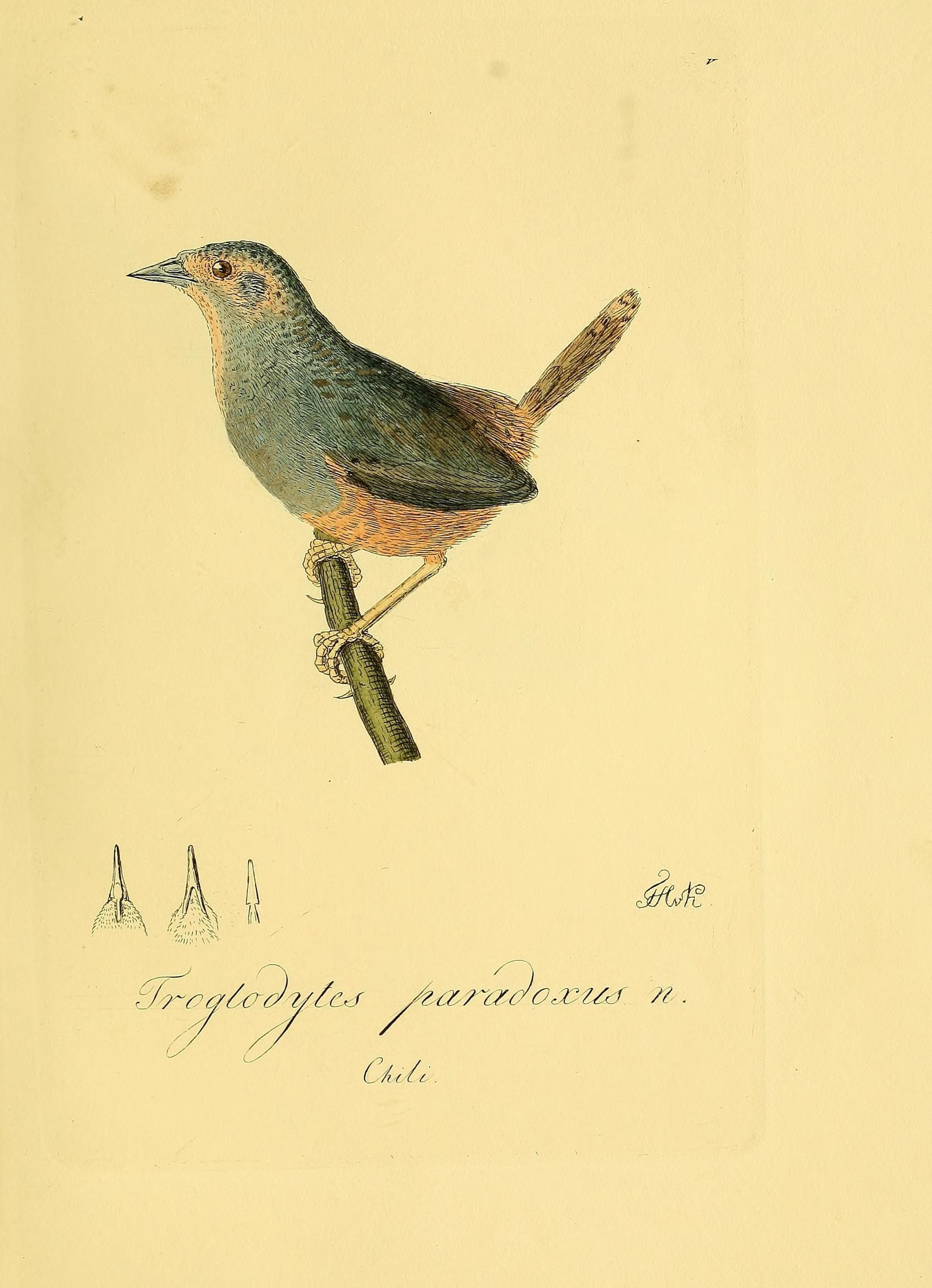 Image of Ochre-flanked Tapaculo