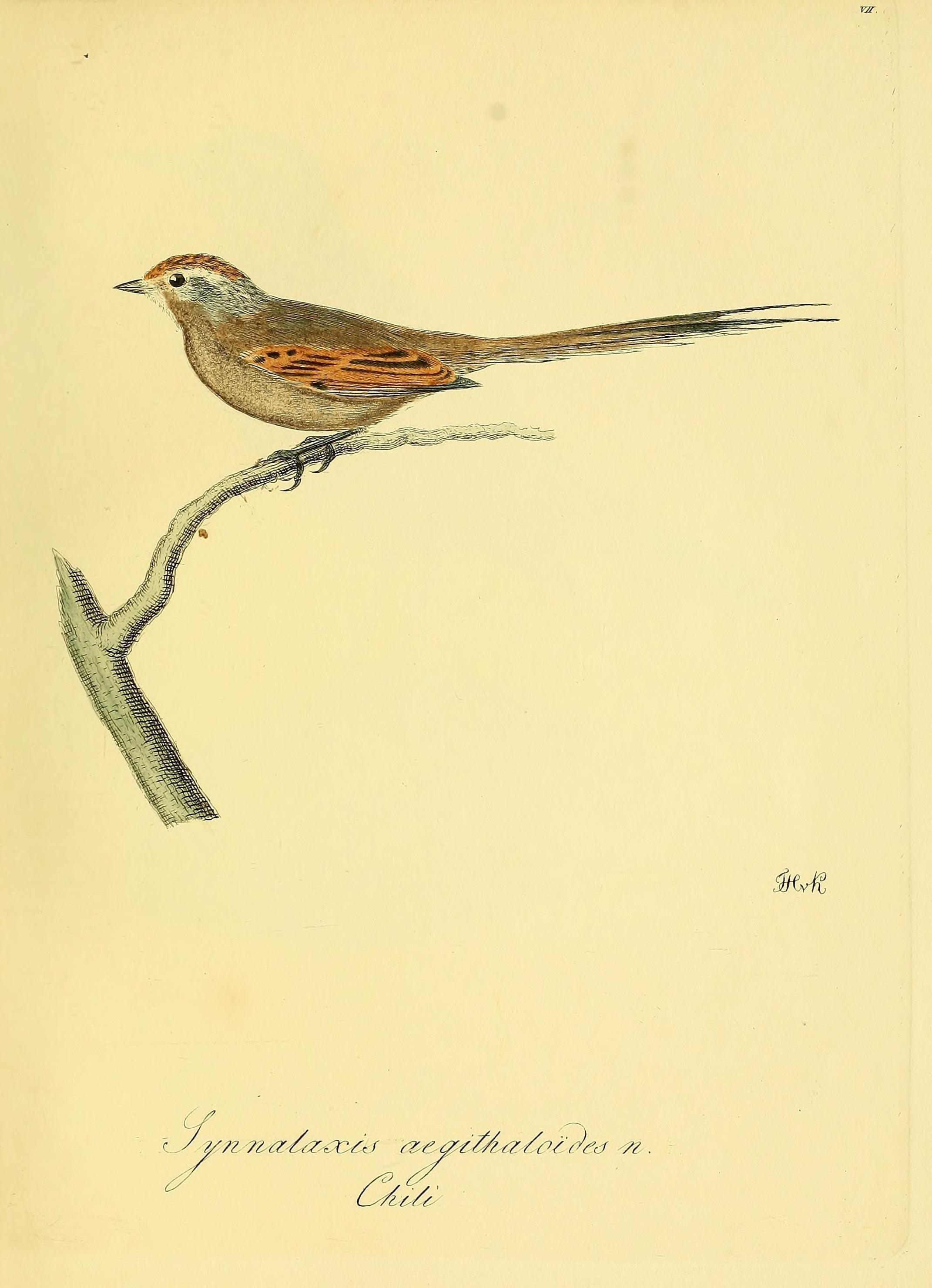 Image of Plain-mantled Tit-Spinetail