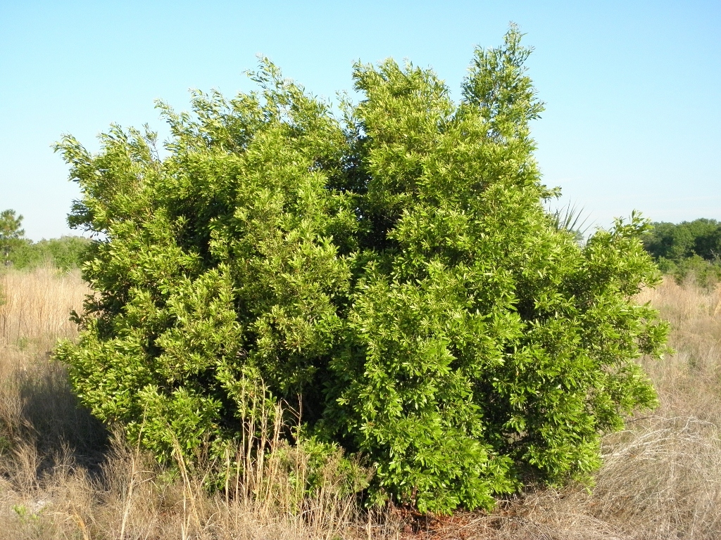 Image of wax myrtle