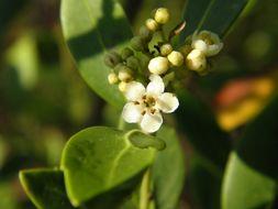 Image of inkberry