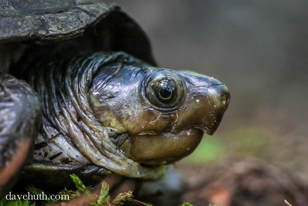Image of Common Mud Turtle