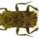 Image of <i>Cyptochirus trogiformis</i> (Roth 1851)