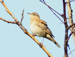 Image of Rufous-tailed scrub robin