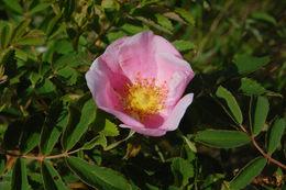 Image of prairie rose