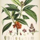 Image of <i>Aucuba himalaica</i> Hook. fil. & Thomson