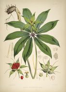Image of <i>Paris polyphylla</i> Sm.