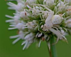 Image of Swift Crab Spider