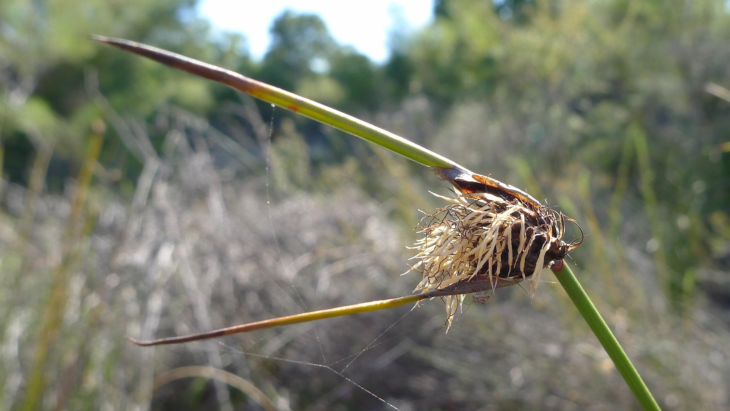Image of <i>Mesomelaena tetragona</i> (R. Br.) Benth.
