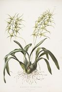 Image of Warty Brassia