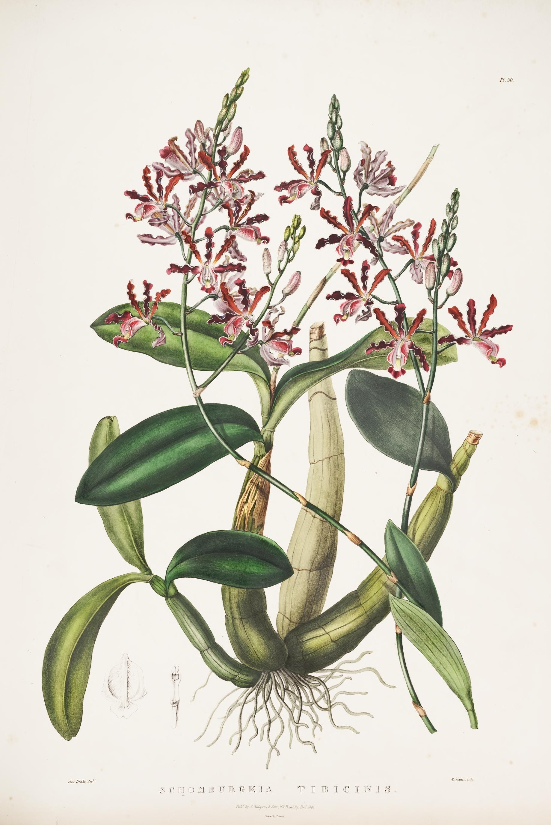 Image of <i>Myrmecophila tibicinis</i> (Bateman ex Lindl.) Rolfe