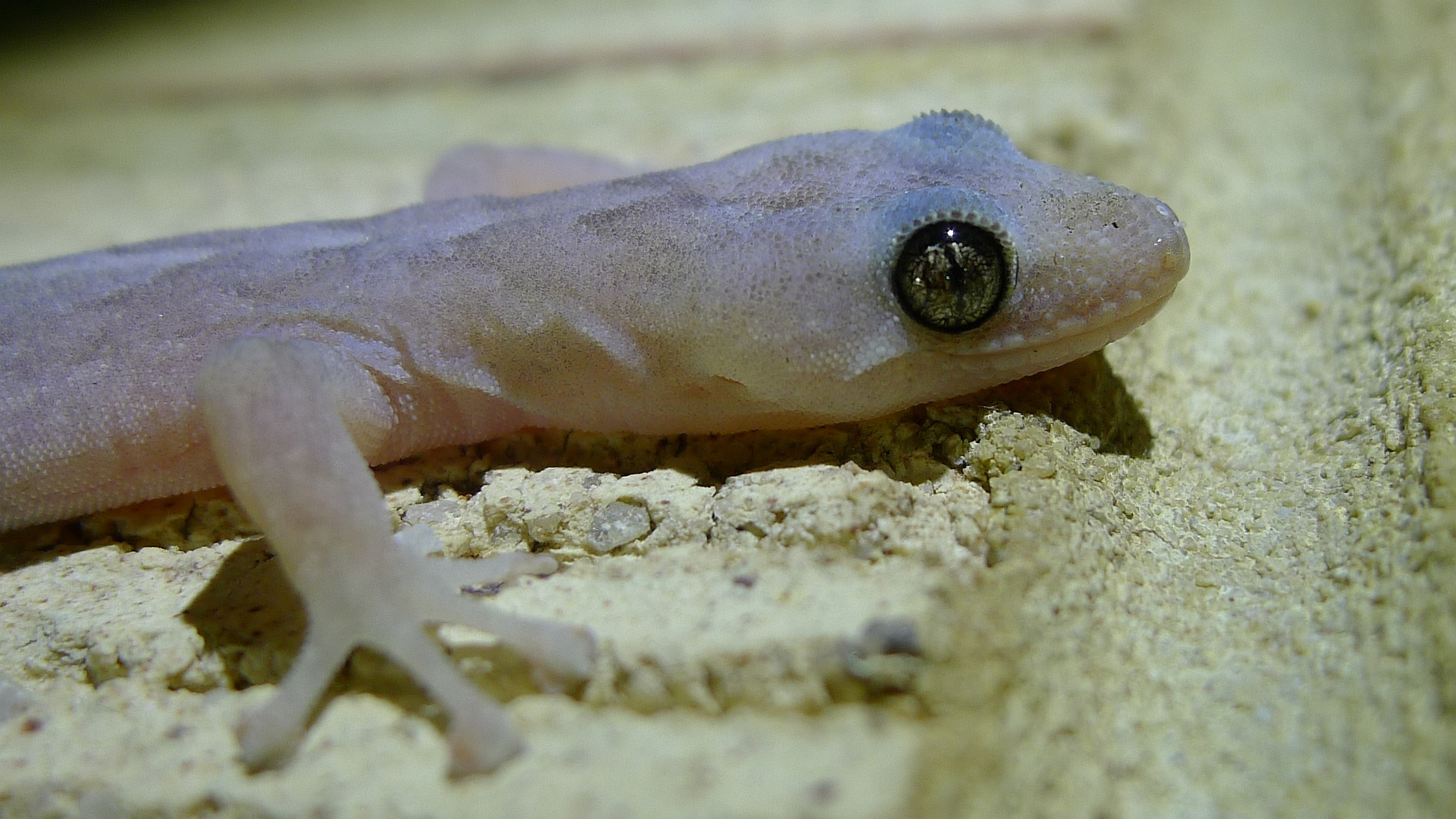 Image of Marbled gecko
