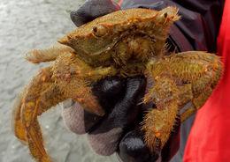Image of helmet crab