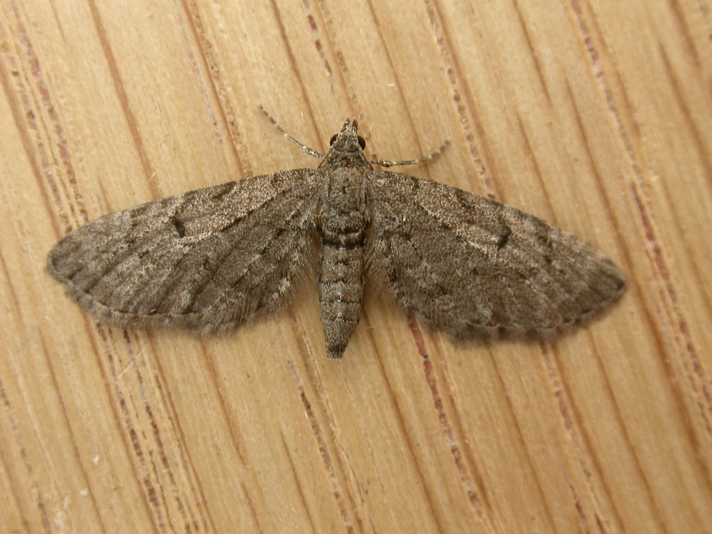 Image of Freyer's Pug