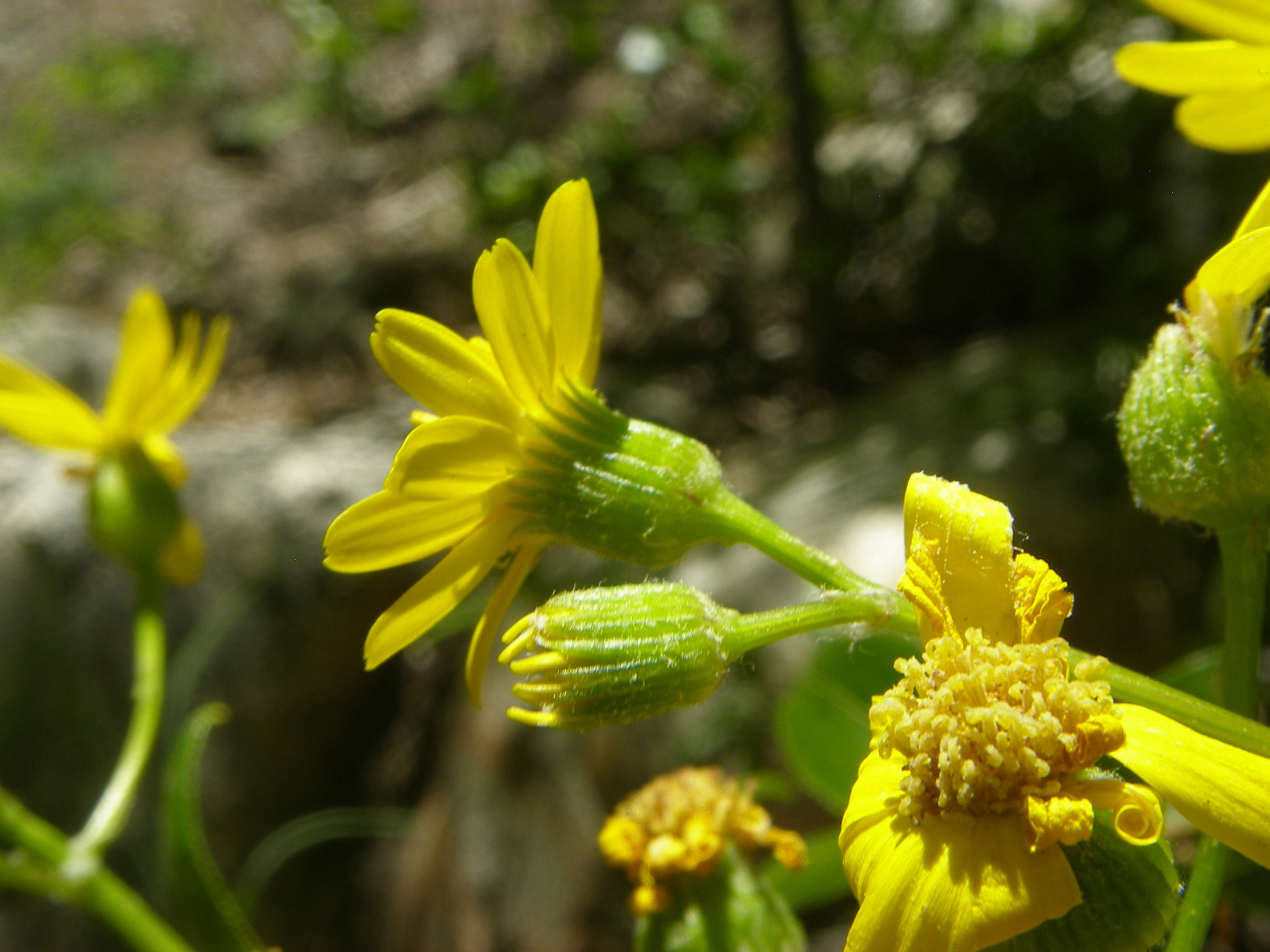 Image of Lemmon's ragwort
