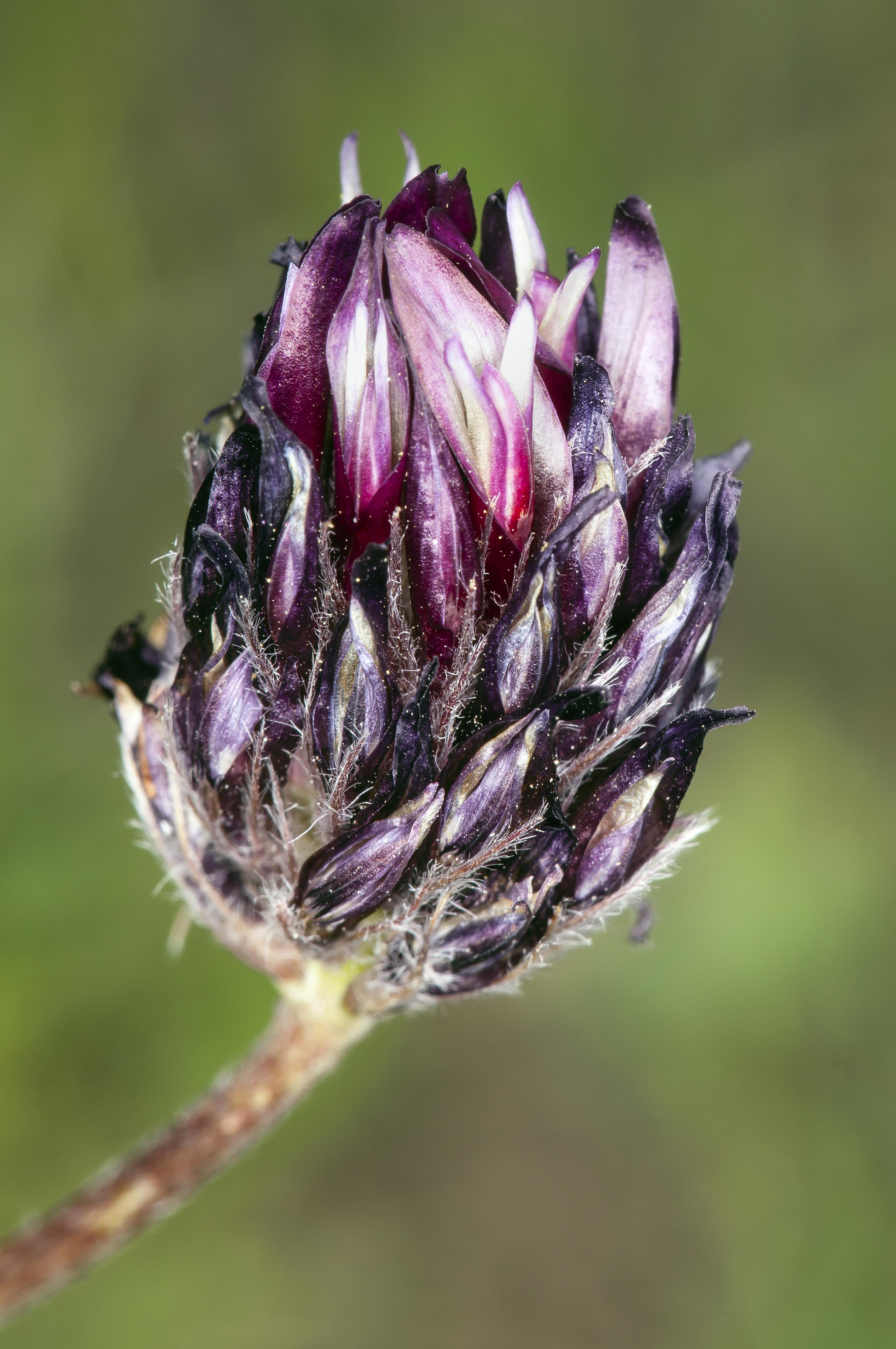 Image of longstalk clover