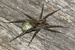 Image of Wolf spider