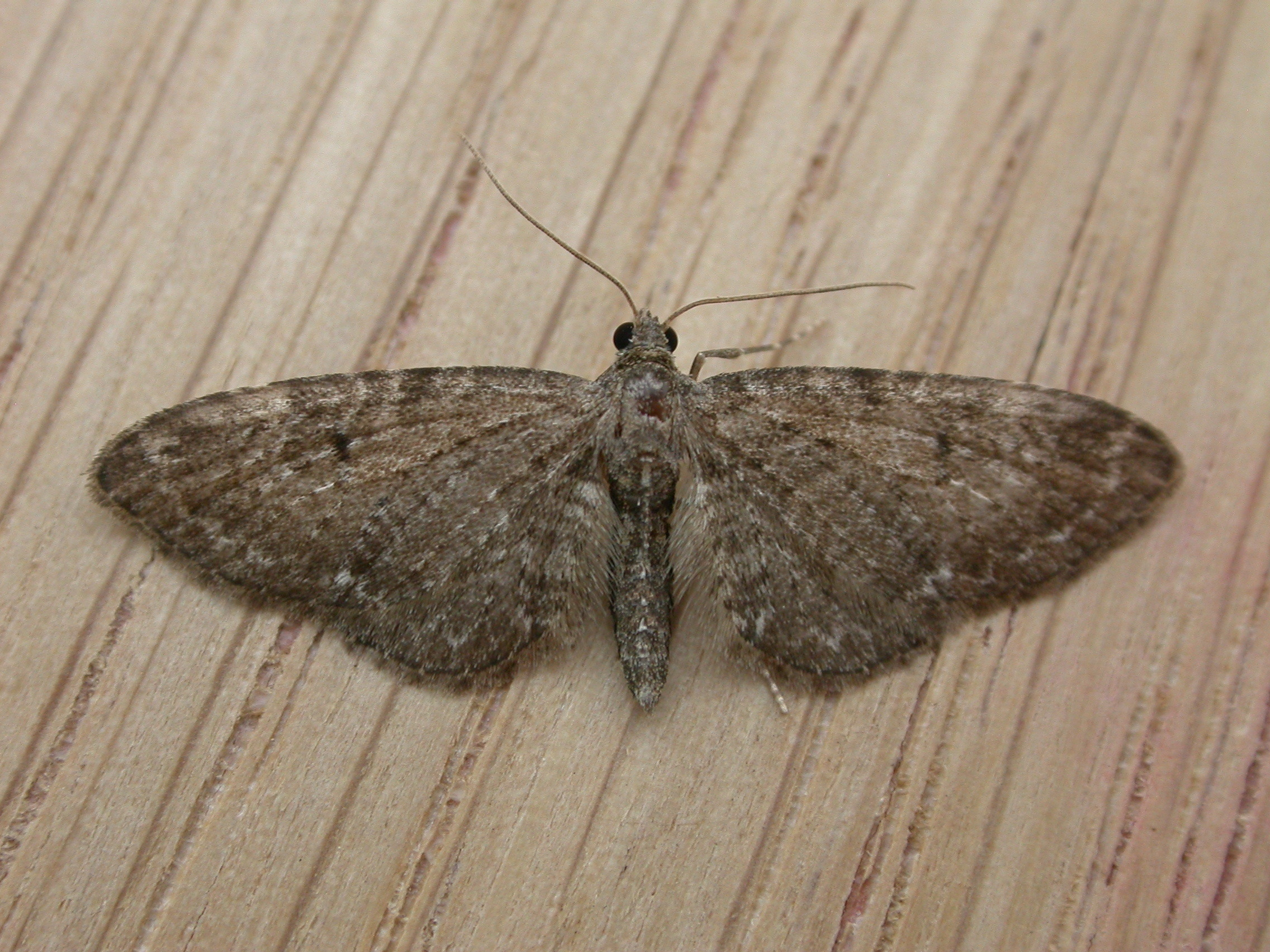 Image of Common Pug