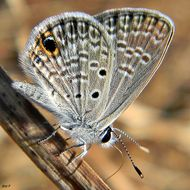 Image of Antillean Blue