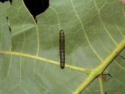 Image of <i>Accinctapubes albifasciata</i> Druce 1902