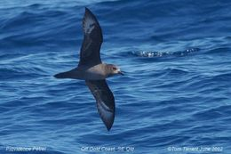Image of Light-mantled Albatross