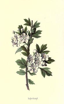 Image of <i>Crataegus oxyacantha</i>