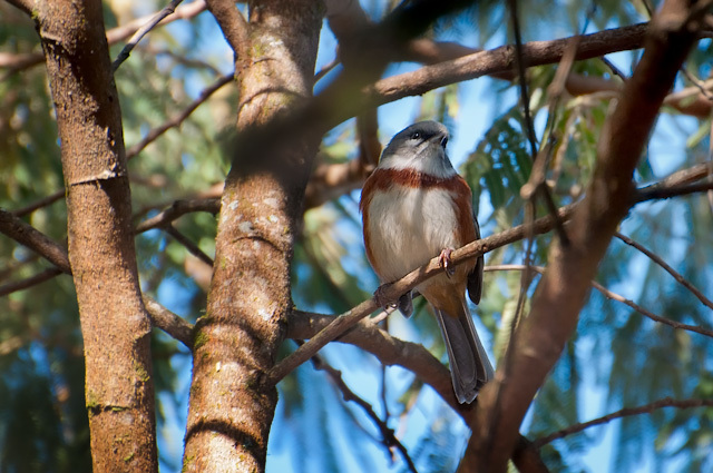 Image of Bay-chested Warbling Finch