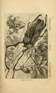 Image of <i>Euchirus longimanus</i> (Linnaeus 1758)