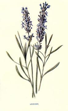 Image of English Lavendar