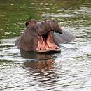 Image of hippopotamuses