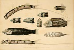 Image of Chun&;s telescopefish
