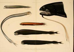 Image of scaly dragonfish