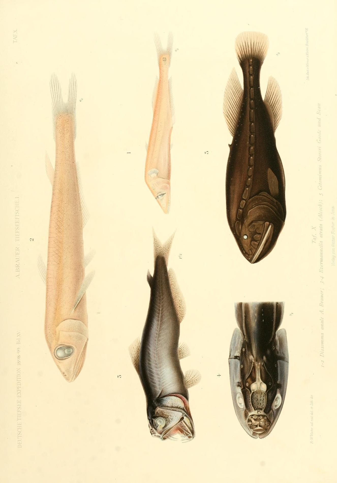 Image of short fin pearleye
